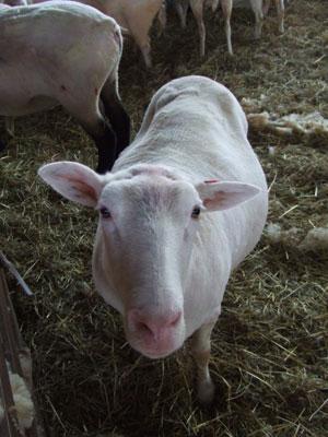 2006年羊の毛刈